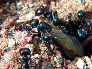 Hormigas Lasius niger 100