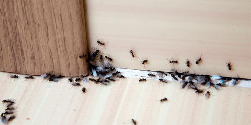 eliminar hormigas de casa