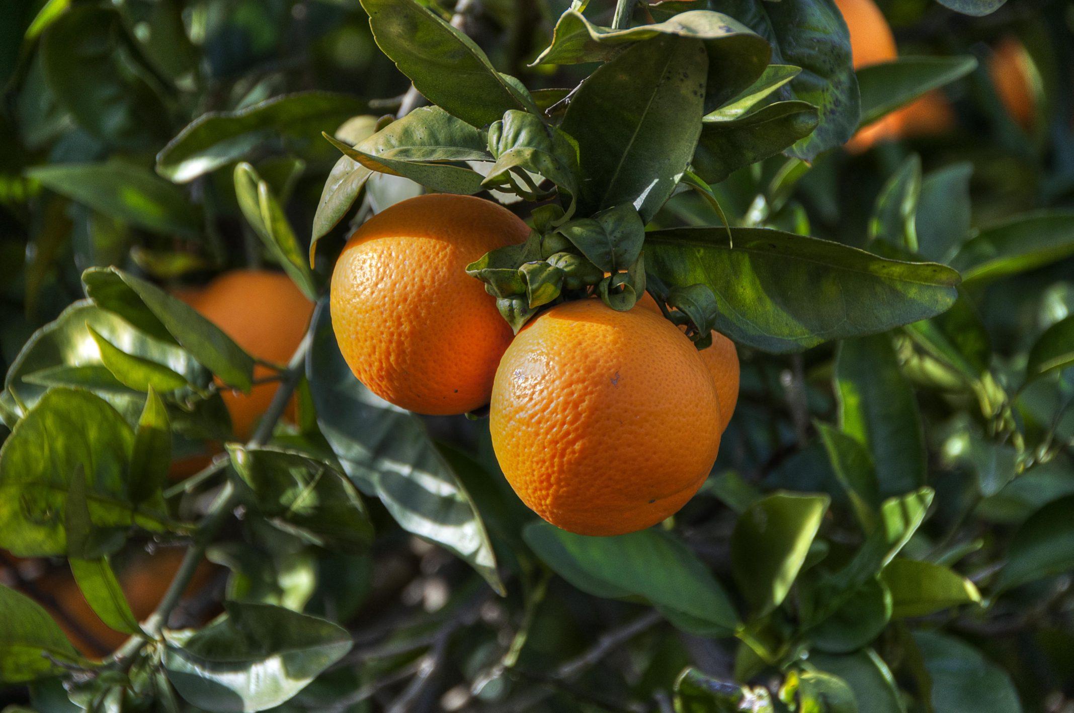 imagen naranjas AC OX